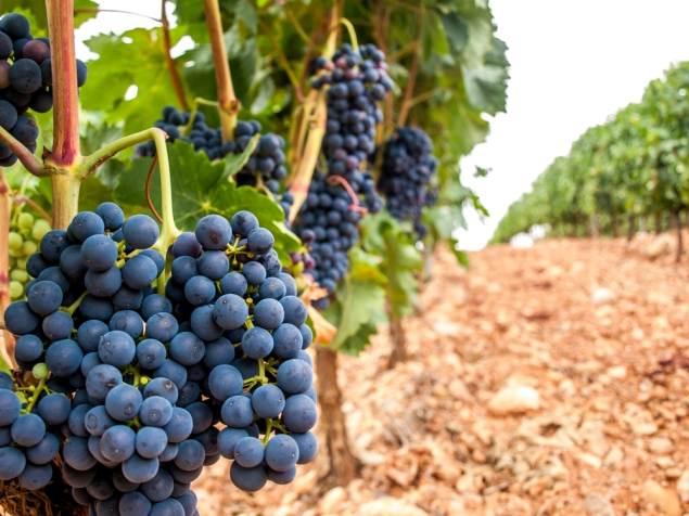 Spanish grapes, La Rioja